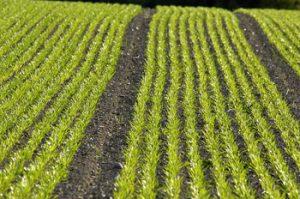Vihreä pelto