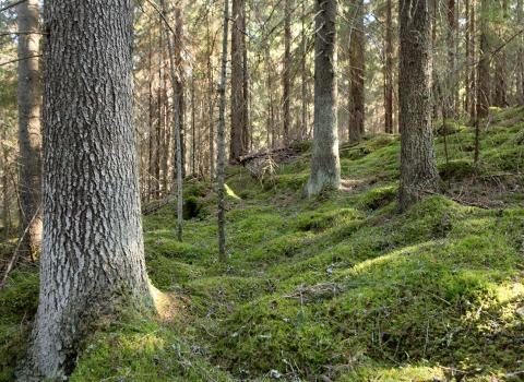 Luonnonperintösäätiö osti Ulvilasta 41 hehtaarin metsän