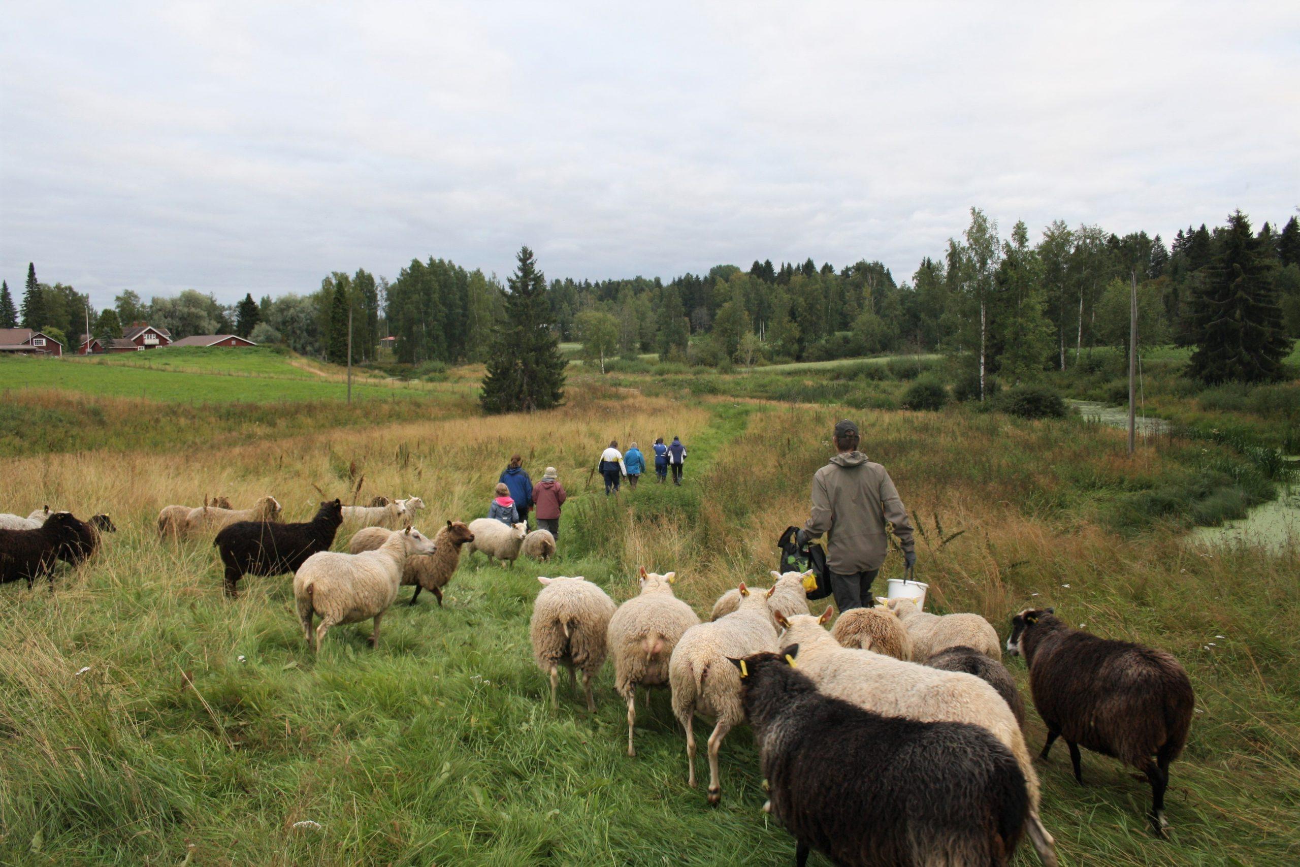 Kuvassa ihmiset kulkevat pellolla joukossaan lampaita.