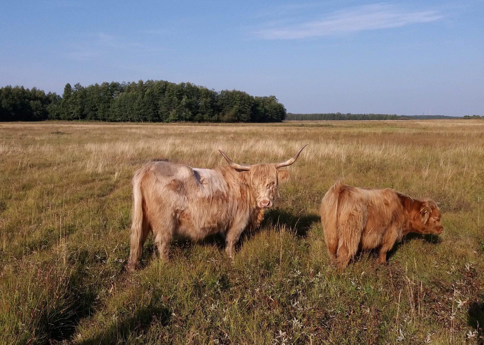 Kuvassa kaksi pellolla seisovaa ylämaankarjan edustajaa.