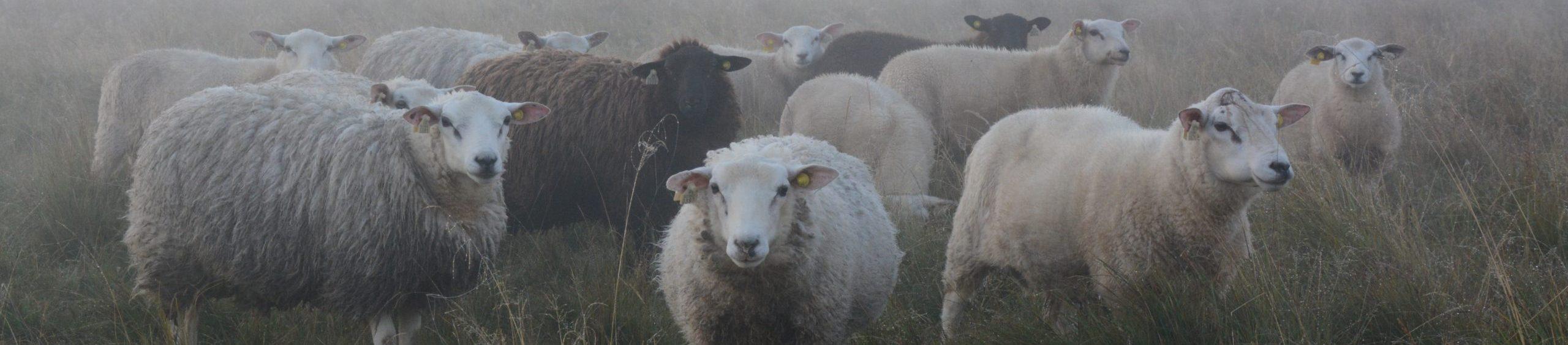 Kuvassa useita lampaita katsomassa kameraan päin sumuisassa säässä.