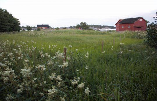 Kuvan vasemmassa alanurkassa on paljon valkoista niittykukkaa, jonka jälkeen niitty jatkuu kohti horisontissa häämöttävää merenrantaa. Niityn reunalla näkyy myös kolme punaista latoa.
