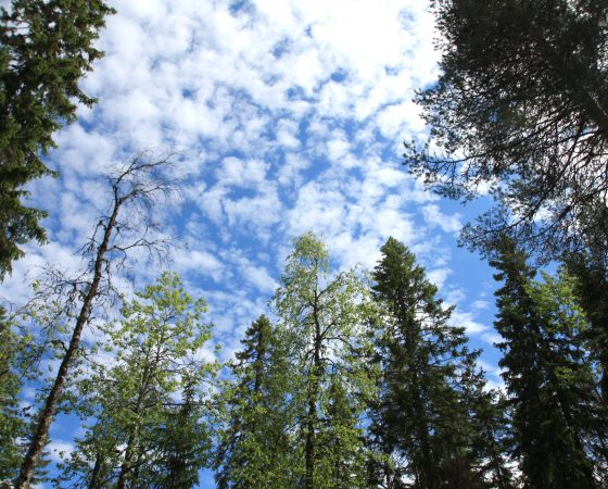 Puiden istuttaminen on tehokkaampi ja halvempi kuin mikään muu ilmastonmuutoksen torjuntakeino