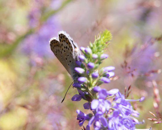 Harvinainen perhoslaji saa peuroilta aidatun alueen Kemiössä